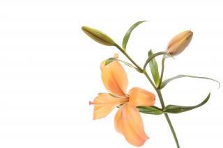 orange lilly  life