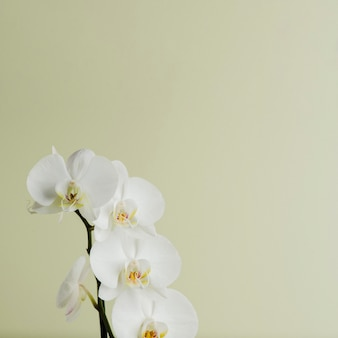 Orchid branch of white color