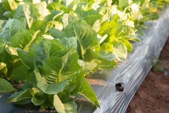 Organic vegetable cultivation garden