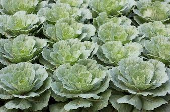 Ornamental cabbage in a garden