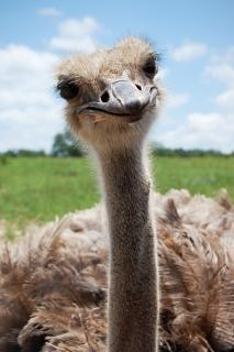 Ostrich  beak