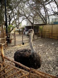 Ostrich, neck