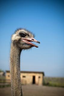 Ostrich, outdoor