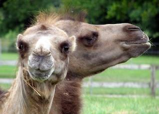 outdoor nature animal camel face mammal cute zoo