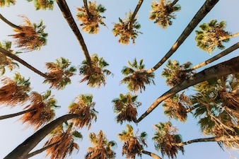 Palm tree seen from below