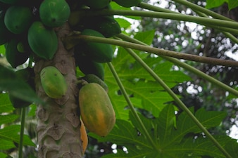 Papayas on a tree close up
