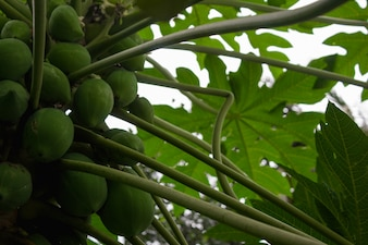 Papayas on a tree