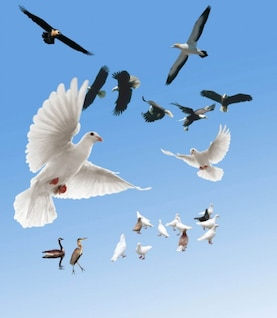 peace dove eagle psd layered material