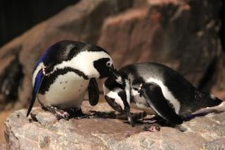 penguins  cleaning