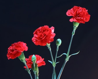 perennial fragrant carnations flowers