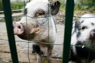 ファーム内の豚