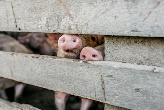Pig's Nose. close-up of  pig snouts through a fence