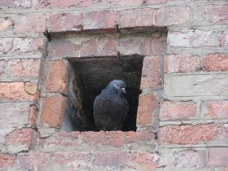Pigeon, animal, bird, brick
