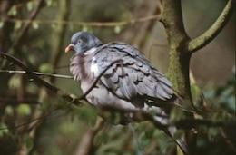 Pigeon, animal, bird