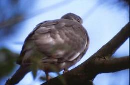 Pigeon, animal, pigeon