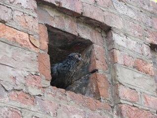 Pigeon, animal, window