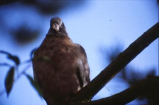 Pigeon, bird, leaves