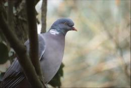 Pigeon, bird, tree