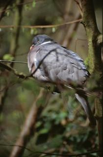 Pigeon, bird