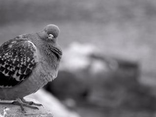 Pigeon, black