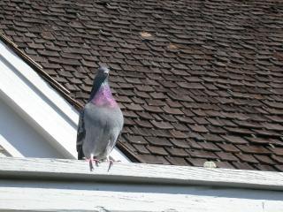 Pigeon, dove, bird, pigeon