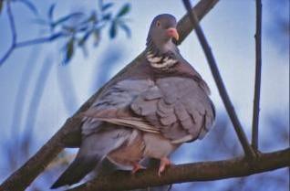 Pigeon, dove