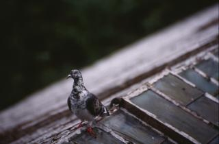 Pigeon on roof top