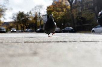 Pigeon walking down the street