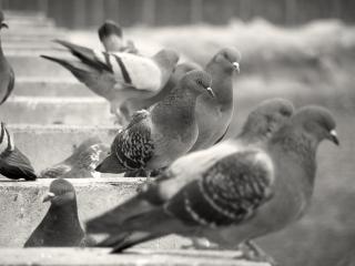 Pigeons, animals