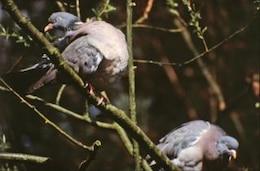 Pigeons, birds