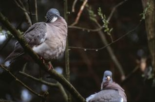 Pigeons, branches