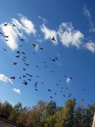 Pigeons, flying
