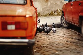 Pigeons between ancient cars