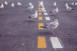 Pigeons on the road