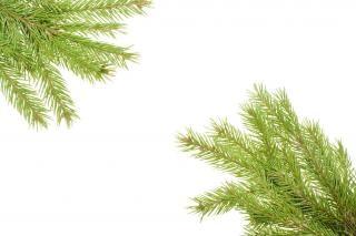 pine branches  branch