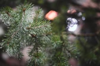 焦点の定まらない背景と松の葉