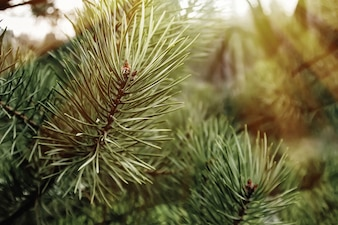 Pine leaves with blurred background