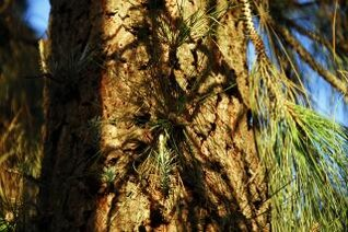 Pine Tree Sprouts