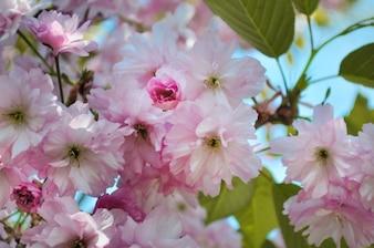 Pink apple blossom