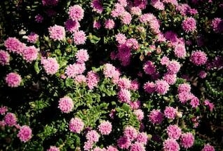 pink flowers  flowers  flower