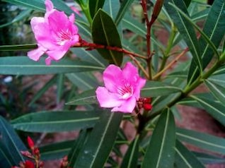Pink flowers, up