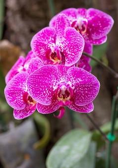 ピンクの胡蝶蘭の花