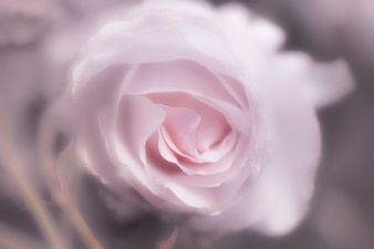 Pink rose as background