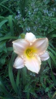 pink yellow lily