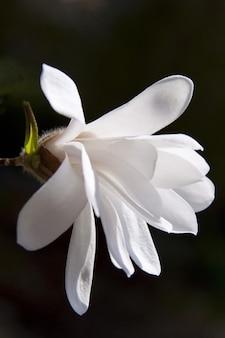Plant magnolia flower nature bloom spring bush