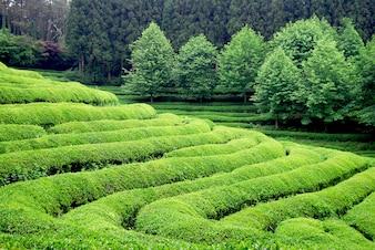東南アジアの茶園