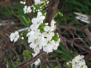 Plum flower blossom, plum