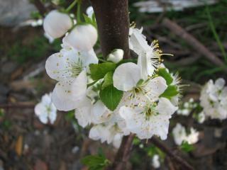 Plum flower blossom, blossom