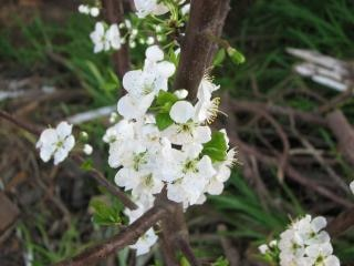 Plum flower blossom, plum