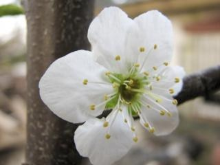 Plum flower blossom, white